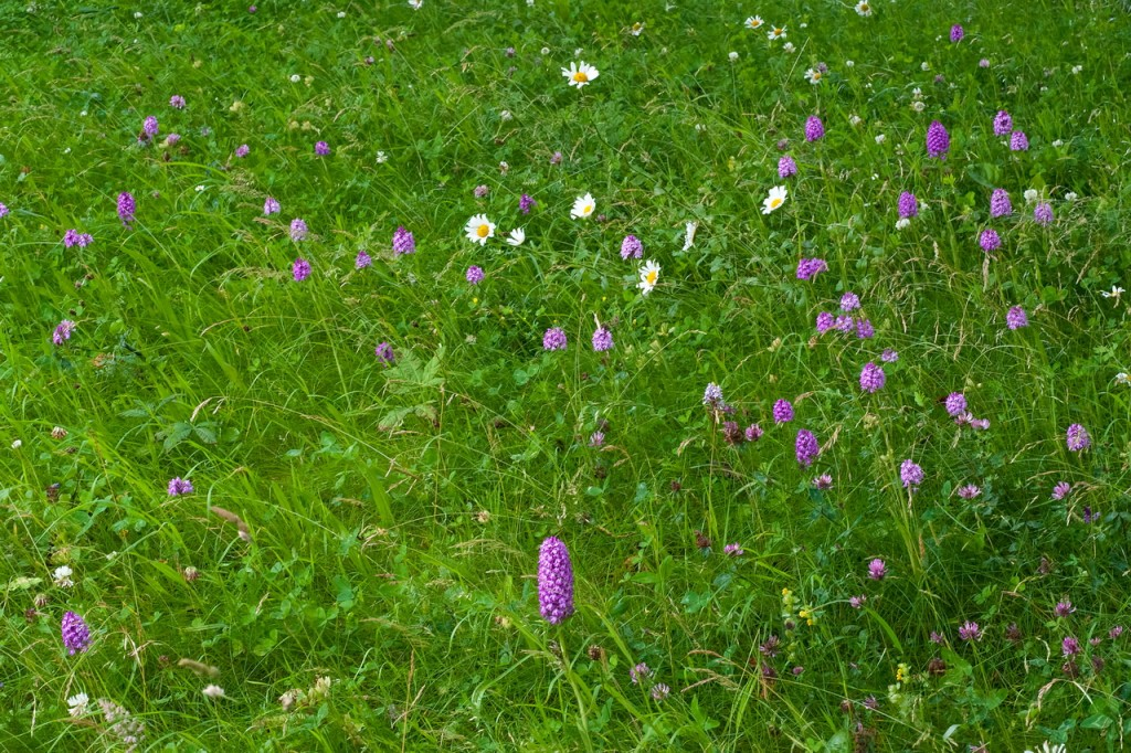 20120717 225 QFH Pyramidal orchids