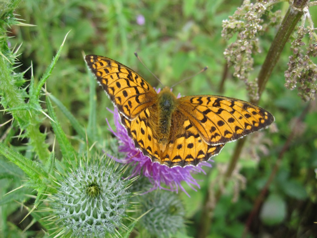20120718 IMG_5098 Dark Green Fritillary
