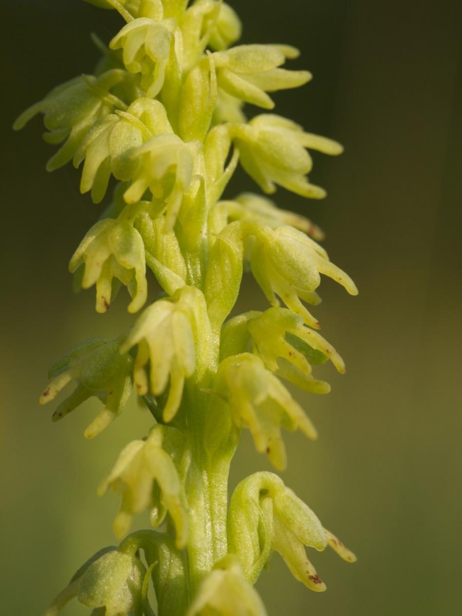 Musk Orchid, macro, Barrow Wake