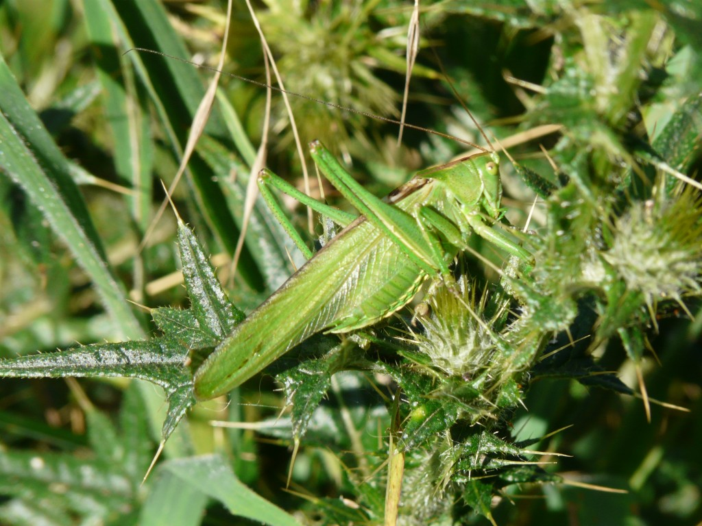 Great Green Bush-Cricket adult