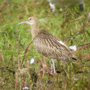 20120802 Coombe Hill Curlew juvenile