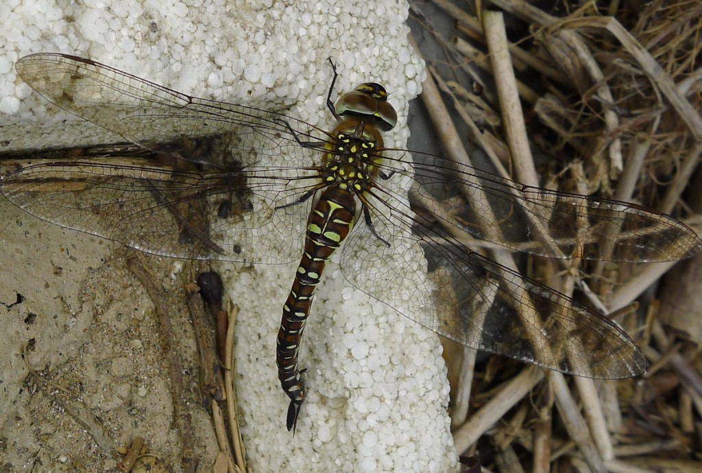 Migrant Hawker egg-laying on strandline debris