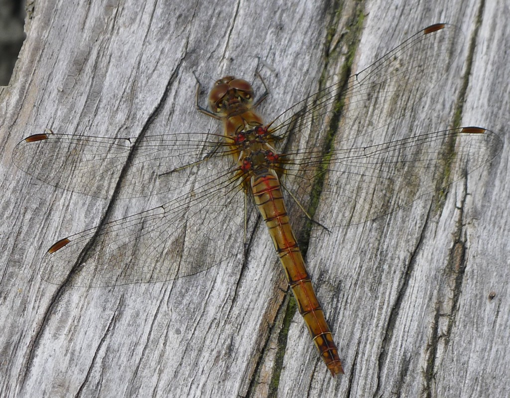 Female Common Darter