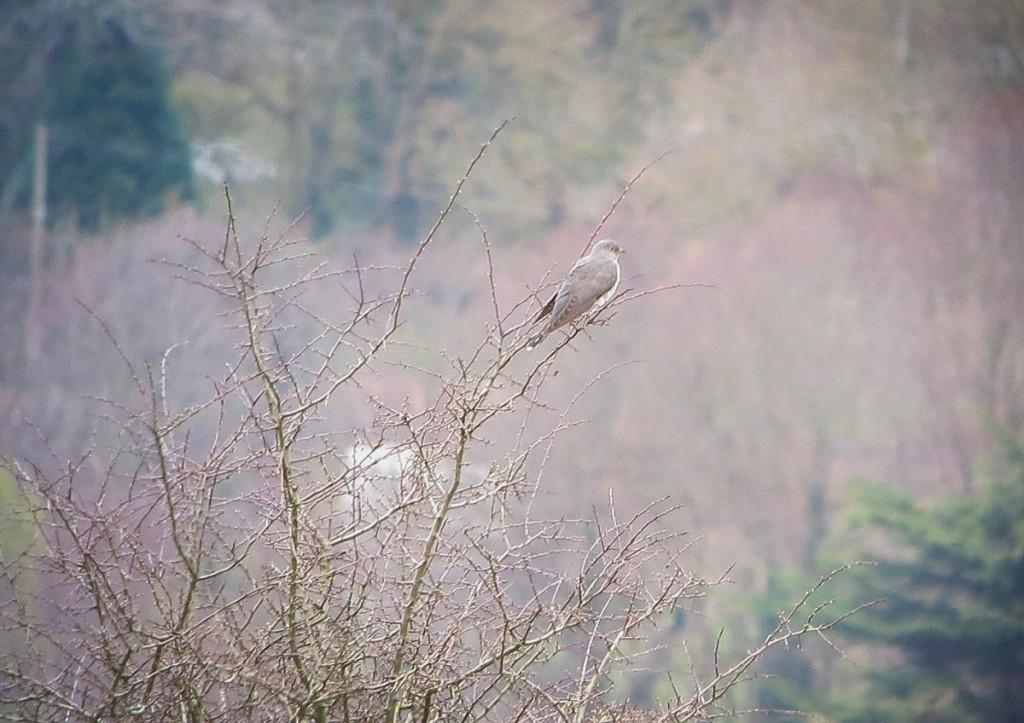 20130419 Cuckoo 1