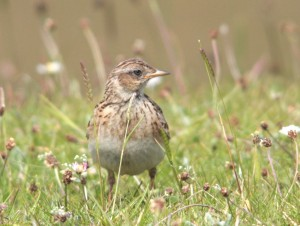 Meadow Pipit IMG_8527