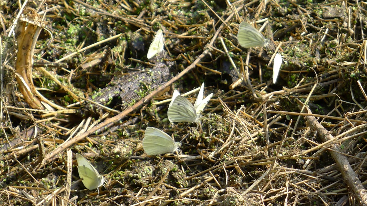 White butterflies mud puddling