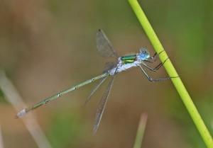 Emerald Damsel IMG_4325x