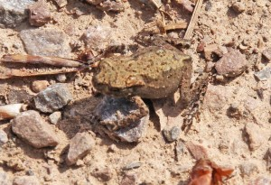 Toadlet IMG_4299x