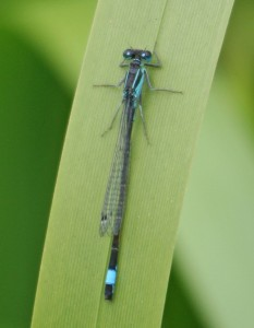 xBlue Tailed Damsel IMG_8712