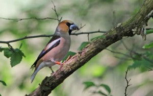 Hawfinch a IMG_0429a