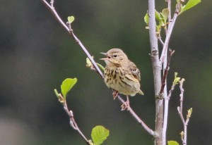 IMG_0191 Tr Pipit