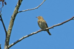 Tree Pipit a IMG_1335