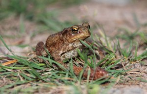 Toad IMG_1306