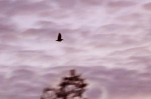 Woodcock IMG_1076a