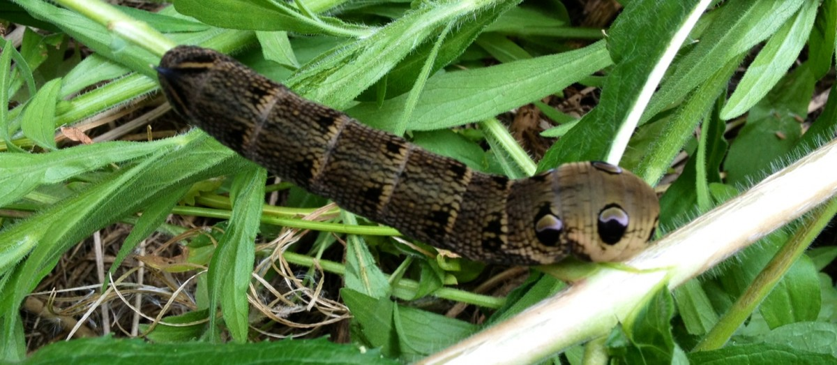 Elephant Hawk Moth Larvae
