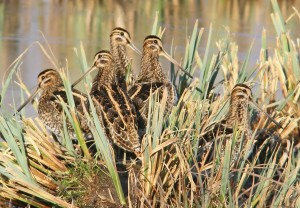 Snipe IMG_0739a (2)