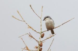 Great Grey Shrike IMG_5105a