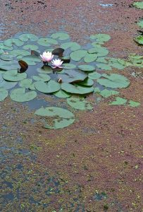 Water-Lily and Water Fern at Willersey, 7September 2016
